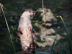 Wide-eyed otter watches and listens - January 14, 2016 - More at today's Daily Otter post: http://dailyotter.org/2016/01/14/wide-eyed-otter-watches-and-listens/