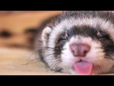 Heartwarming Sleepy Baby Ferret - YouTube