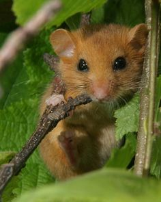 In 2013 Made by the Forge decided to support the Suffolk Wildlife Trust with its tree planting money. The donation helped to plant 1000m of hedgerow to re-establish critical habitat connections for the native dormouse. The hedgerow planted is between Bentley Long Wood and Brockley Wood.