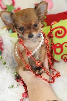 27 Best T Cup Christmas Puppies For Sale Images Christmas