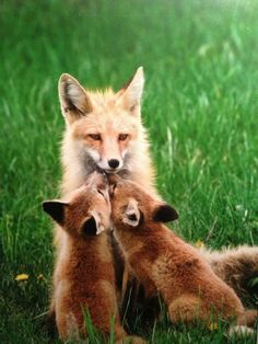 Red Fox and Kits Ahhhh omg so cute 😘 Animals And Pets, Baby Animals, Cute Animals, Strange Animals, Beautiful Creatures, Animals Beautiful, Fuchs Baby, Fantastic Fox, Cute Fox
