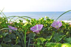 5.7 '12 beach flower3 by higehiro, via Flickr