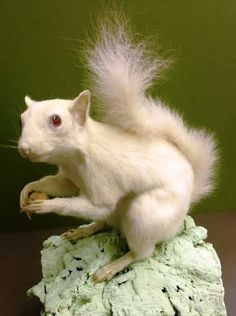 Albino Eastern Gray Squirrels are legally protected in the city of Olney, IL.