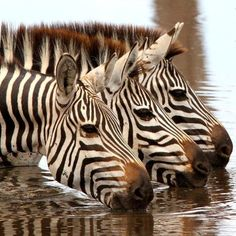 Get your hands on Zazzle's Zebra ceramic tiles. Search through our wonderful designs & find great Zebra tiles to decorate your home. Animals Of The World, Animals And Pets, Cute Animals, Beautiful Horses, Animals Beautiful, Tier Fotos, Funny Animal Pictures, Zebra Pictures, Funny Photos