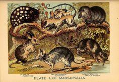 Marsupials ...