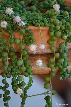 Senecio Rowleyanus, or String of Pearls, is often displayed in hanging pots to show off the long strands of bead shaped leaves. It would also be striking trailing over rocks or draped along the top of a long wall. Succulent Arrangements, Cacti And Succulents, Planting Succulents, Planting Flowers, Succulent Gardening, Succulent Terrarium, Container Gardening, Cactus Planta, Cactus Y Suculentas