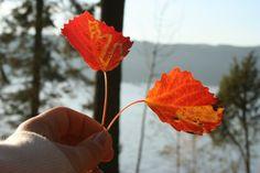 autumn leaves Fall Bouquets, Autumn Leaves, Fall Leaves, Autumn Leaf Color