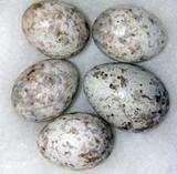 Egg fra hagesanger og gjøk (Hovedtekstbilde)
