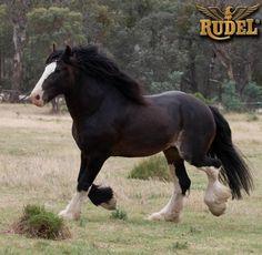 El Shire está reconocida como la raza equina más grande del mundo, es por lo general un caballo tranquilo y paciente.