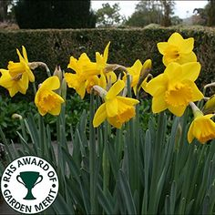 DAFFODIL SAINT KEVERNE YELLOW BED BORDER HEALTHY SPRING FLOWERS BULBS PLANTS (1kg) GardenersDream® http://www.amazon.co.uk/dp/B01418MUHW/ref=cm_sw_r_pi_dp_WcSxwb1JBKN9Y