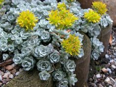 Sedum spathulifolium 'Cape Blanco' is an evergreen, perennial succulent, forming a wide mat up to 4 inches (10 cm) tall, with thick...