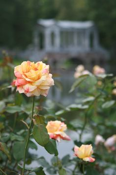 rose/  roses / Catherine park /  Tsarskoye Selo / Pushkin / marble bridge  in Catherine park