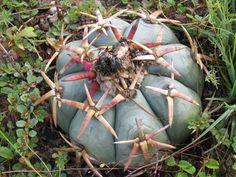 Echinocactus horizonthalonius PD190, El Quemado, Dur