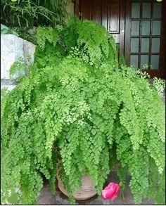 Maidenhair Fern : Adiantum raddianum - All For Garden Small Gardens, Outdoor Gardens, Maidenhair Fern, Fern Plant, Shade Plants, Tropical Plants, Tropical Gardens, Shade Garden, Dream Garden