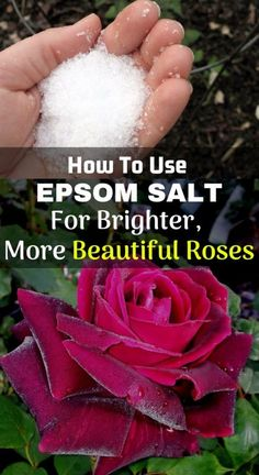 Use Epsom Salt For Brighter, More Beautiful Roses Using Epsom salt for roses has long been a best friend and an excellent supplement for rose growers.Salting Salting or Salted may refer to: Epsom Salt For Roses, Epsom Salt For Plants, Rose Bush Care, Rose Care, Garden Yard Ideas, Lawn And Garden, Growing Flowers, Growing Plants, Growing Vegetables