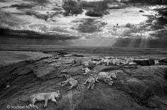 Das Gewinnerfoto von Michael Nichols: Rastende Löwen in Tansanias Serengeti-Nationalpark.