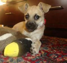Chance is an adoptable Pug Dog in Hillside, IL. Chance is a spunky pup who loves to play.  She is approximately 3 months old now and has a long happy life ahead of her.  She would love to have a doggi...