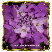 1 Lb Globe Candytuft (Iberis umbellata) Bulk Wildflower Seeds - http://supplies.myraisedbedgarden.net/seeds-bulbs-plants/flowers/a-d/candytuft/1-lb-globe-candytuft-iberis-umbellata-bulk-wildflower-seeds/