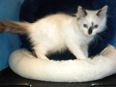 Samara is an adoptable Ragdoll Cat in Gainesville, FL. This is one remarkable little baby. She is extremely loving, loves other cats and is a girlie girl...and such a gorgeous one! Those eyes are ju...