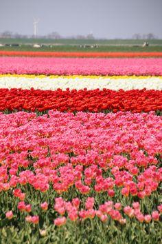 Amsterdam Flower Market, Amsterdam Tulips, Best Hotels In Amsterdam, Visit Amsterdam, Tulip Season, Visit Istanbul, Tulip Painting, Dutch Artists, Pretty Photos