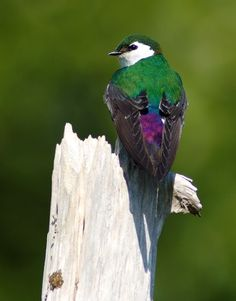 Violet-green Swallow...reminds me of home, I think this will be my next tattoo