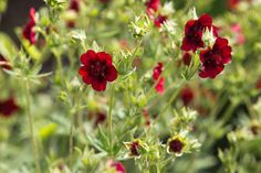 Potentilla thurberi 'Monarch's Velvet' (Scarlet Cinquefoil) Lavender Hidcote, Mexican Sunflower, Herbaceous Perennials, California Poppy, Buy Plants, Annual Plants, Types Of Soil, Zinnias, Outdoor Plants