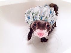 Ferret in a shower cap...too sweet
