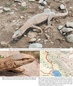 New species of desert monitor lizard from the western and southwestern foothills of the Zagros Mountains. From Varanus griseus and its nominal subspecies V. g. griseus, V. g. caspius, and V. g. koniecznyi it is easily distinguishable by its stout head shape, the shape and position of the nostril, an extremely rough and spiny neck scalation, a laterally compressed tail with a double-keeled dorsal crest throughout its length, a nearly uniformly colored dorsum and an unpatterned light yellowish…