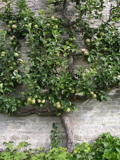 We'd love to try and train a fruit tree to grow along one of our back fences like this.