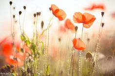 Autumn Poppies by Olivia Bell, via Flickr