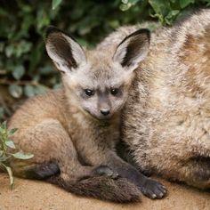 Yuvarlak kulaklı tilki yavrusu (Bat-Eared Fox) -