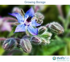 This is a guide about growing borage. Borage is a lovely annual herb with vivid blue flowers and leaves that have a faint cucumber taste. Both the flowers and leaves are edible.