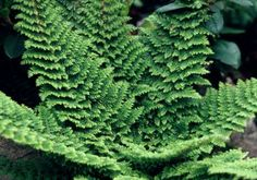 Polystichum setiferum Plumosomultilobum Group. This is another glorious fern, up to 60cm or maybe more x 90cm. Needs full or partial shade.