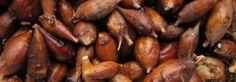 Acorn recipes