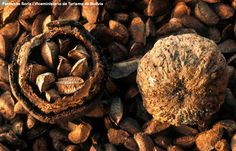 Brazil nuts pod and the actual nut Bulk Nuts, Healthy Seeds, Fruits Images, Tree Nuts, Tropical Fruits, Fruit Trees, Bonsai, Berries, Herbs