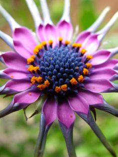 African Daisy/Osteospermum by Spiral Gene on flickr