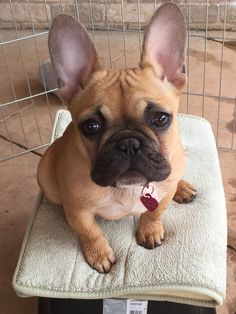 French Bulldog Puppy, what a cutie