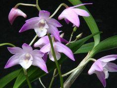 Orchideeen-shop.nl - Dendrobium