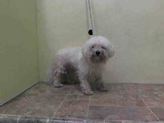 Safe Manhattan Center BABY - A1022167 FEMALE, WHITE, POODLE MIN MIX, 6 yrs STRAY - STRAY WAIT, NO HOLD Reason STRAY Intake condition EXAM REQ Intake Date 12/02/2014, From NY 10453, DueOut Date 12/05/2014 https://www.facebook.com/Urgentdeathrowdogs/photos/pb.152876678058553.-2207520000.1417634226./915696968443183/?type=3&theater