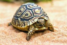 Pet lizards, snakes, turtles, and tortoises are frequently diagnosed with infections of their skin and shells. Tartaruga Aquatica, Kawaii Turtle, Turtle Images, Pet Lizards, Reptile Skin, Cute Turtles, Reptiles And Amphibians, Tortoises, Teenage Mutant Ninja Turtles