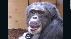 Sherman the chimp took a memory test and got a reward for right answers, and the experiment showed he had a complex thought pattern.