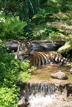 Tiger in the water by Joe Motohashi on 500px