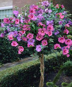 Rose of Sharon bush, Hibiscus syriacus