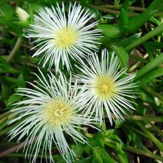 Did you know that Sceletium may be used to enhance mood, cause relaxation and relieve stress? Find out more about this popular medicinal plant that grows right here in South Africa ... #sceletium #traditionalafricanmedicine #africanherbalremedies #africantraditionalmedicine #herbalmedicine #africanherbs #africanhealth #plantmedicine #traditionalmedicine #tinctures #herbalism #indigenousherbalism #healthyherbs #herbalist #sourceofhealth #medicinalplants #medicinalherbs African Herbs, Healthy Herbs, Mood Enhancers, Medicinal Plants, Herbal Medicine, Herbal Remedies, How To Relieve Stress, Did You Know, Herbalism
