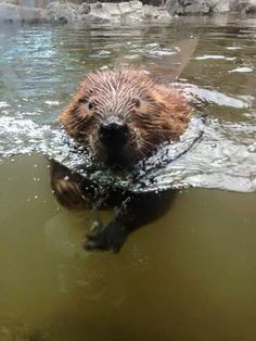 Beaver swimming at Cheyenne Mountain Zoo