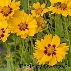 Sterntaler Coreopsis - Coreopsis grandiflora - Heavy flowering 15-18 inch tall plants produce 2 1/4 inch golden flowers with mahogany-brown rings around the centers. Butterflies love them. 'Sterntaler' Coreopsis plants bloom from May to October. An excellent performer for borders or containers. Drought tolerant once established. Winter hardy to zone 4.