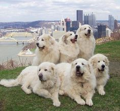Just hanging out in the Steel City, greatpyrenees, Pittsburgh