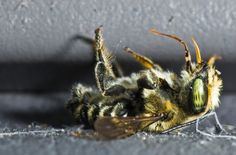Honey Bees Killed By Pesticides Affect US Agriculture