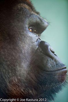 Silverback Gorilla, Toledo Zoo, Toledo Ohio Copyright © Joe Kastura 2012