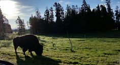 """""""Bison Eating"""" by TravelPod blogger evieandstaci from the entry """"4th of July with the Presidents"""" on Friday, July  4, 2014 in Murdo, United States"""